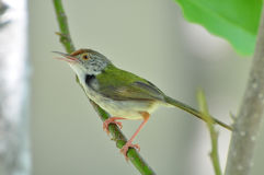 Tailorbird comune (sutorius del Orthotomus) Fotografie Stock Libere da Diritti