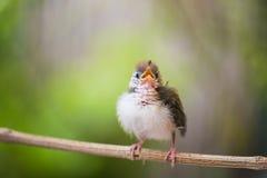 Tailorbird del campo común del joven imagen de archivo