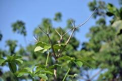 Tailorbird. Singing loudly on tree branch Royalty Free Stock Photos