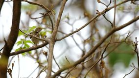 Tailorbird on tree. Tailorbird is moving on the tree branch and flying away stock video
