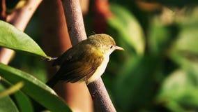 Tailorbirdorthotomus die op boomtak neerstrijken stock footage