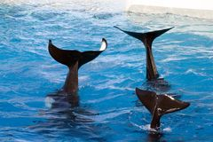 Tails of Killer Whales. Three tails of killer whales in deep blue waters Stock Photo