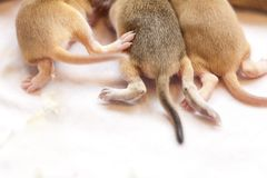 Tails and paws of cute small mice babies. Closeup image. Tails and paws of cute small mice babies. Closeup macro image royalty free stock image