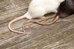 Tails of rats on a wooden table Royalty Free Stock Photography