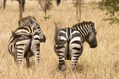 Tails swinging. Two female plains zebra swinging their tails to keep insects away. Serengeti, Tanzania, Africa Royalty Free Stock Photos