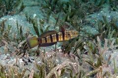 Tailspot-Goby (amblygobius albimaculatus) im Roten Meer. stockbilder
