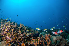 Tailspot squierrelfish Sargocentron caudimaculatum, Spotfin squierrelfish Neoniphon sammara in Gili, Lombok, Indonesia underwater Stock Photos
