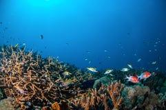 Tailspot squierrelfishSargocentron caudimaculatum, Spotfin squierrelfishNeoniphon sammara i Gili, Lombok, undervattens- Indonesie Arkivfoton