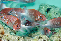 Tailspot squirrelfish Royalty Free Stock Images