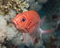 Tailspot squirrelfish on a coral reef Royalty Free Stock Images