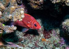 Tailspot Squirrelfish hiding behind a rock. Stock Images