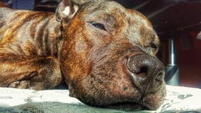 Taima. My american stafford sleeping Stock Photography