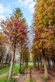 Tainan Liujia, Taiwán - 26 de enero de 2018: Bosque colorido y hermoso del distichum del taxodium del invierno Foto de archivo libre de regalías