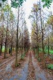 Tainan Liujia, Taiwan - 26 gennaio 2018: Foresta variopinta e bella di taxodium distichum di inverno Fotografia Stock