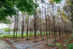 Tainan Liujia, Taiwan - 26. Januar 2018: Bunter und schöner Winter Taxodium distichum Wald Stockfoto