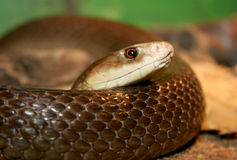 Taipan Stock Photo