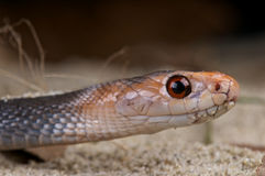 Taipan Stock Photography