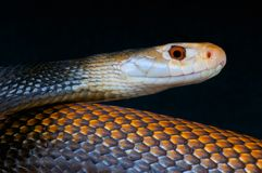 Taipan / Oxyuranus scutellatus canni Royalty Free Stock Images