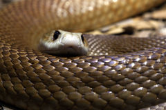 Taipan's stare Stock Photography