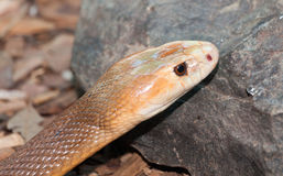 Taipan snake Royalty Free Stock Images