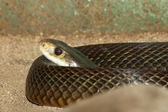 Taipan Royalty Free Stock Photography
