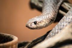Taipanstående, Oxyuranus, en av de mest giftiga och mest dödliga ormarna i världen royaltyfria foton