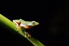 Taipei drzewna żaba Zdjęcia Royalty Free