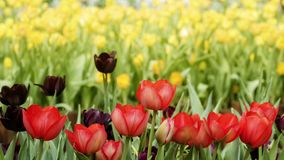 2019 Shilin official residence tulip exhibition, Taipei, Taiwan. Taipei Shilin official residence, Taiwan - 21 Feb, 2019: 2019 Shilin official residence tulip royalty free stock image