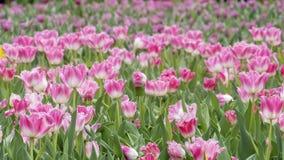 2019 Shilin official residence tulip exhibition, Taipei, Taiwan. Taipei Shilin official residence, Taiwan - 21 Feb, 2019: 2019 Shilin official residence tulip royalty free stock photos
