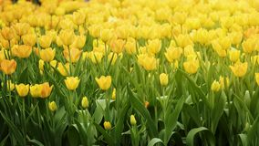 2019 Shilin official residence tulip exhibition, Taipei, Taiwan. Taipei Shilin official residence, Taiwan - 21 Feb, 2019: 2019 Shilin official residence tulip stock photography