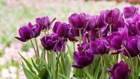 2019 Shilin official residence tulip exhibition, Taipei, Taiwan. Taipei Shilin official residence, Taiwan - 21 Feb, 2019: 2019 Shilin official residence tulip royalty free stock photography