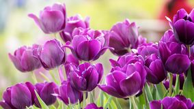 2019 Shilin official residence tulip exhibition, Taipei, Taiwan. Taipei Shilin official residence, Taiwan - 21 Feb, 2019: 2019 Shilin official residence tulip royalty free stock images