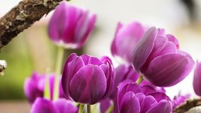 2019 Shilin official residence tulip exhibition, Taipei, Taiwan. Taipei Shilin official residence, Taiwan - 21 Feb, 2019: 2019 Shilin official residence tulip stock photos