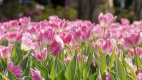 2019 Shilin official residence tulip exhibition, Taipei, Taiwan. Taipei Shilin official residence, Taiwan - 21 Feb, 2019: 2019 Shilin official residence tulip stock image