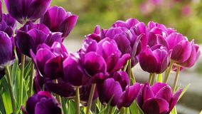 2019 Shilin official residence tulip exhibition, Taipei, Taiwan. Taipei Shilin official residence, Taiwan - 21 Feb, 2019: 2019 Shilin official residence tulip stock photo