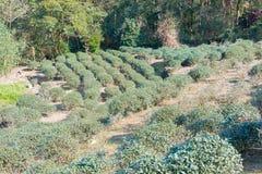 TAIPEI TAJWAN, Jan 26 2016, -: Herbaciana plantacja przy Maokong famou Zdjęcie Royalty Free