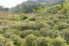 TAIPEI TAJWAN, Jan 26 2016, -: Herbaciana plantacja przy Maokong famou Fotografia Stock