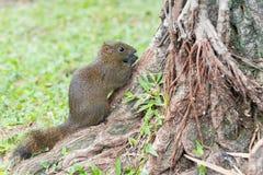 TAIPEI TAJWAN, Jan 27 2016, -: Tajwańskie wiewiórki w 228 pokoju notatce Obrazy Stock