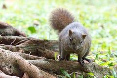 TAIPEI TAJWAN, Jan 27 2016, -: Tajwańskie wiewiórki w 228 pokoju notatce Obraz Stock