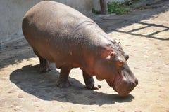 Hippopotamus or hippo. Taipei zoo , taiwan : Close up of hippopotamus Stock Photography