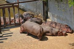 Hippopotamus or hippo. Taipei zoo , taiwan  : Close up of hippopotamus Stock Photo