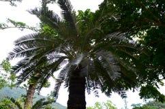 Taitungensis endémico taiwanés del Cycas en zona de recreo del bosque del Estado de Zhiben Foto de archivo