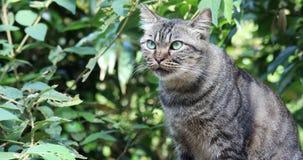 Taiwán, atracciones famosas, pueblo del gato del gato del mono, gato atigrado precioso, preparación del gato, metrajes
