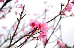 Taiwán Cherry Blossom Foto de archivo libre de regalías