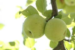 Taiwan äpple Arkivfoton