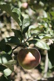 Taiwan-Apfel Stockfoto