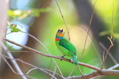 Taiwan Barbet Stock Photos