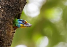 Taiwan Barbet,Megalaima nuchalis Royalty Free Stock Photos