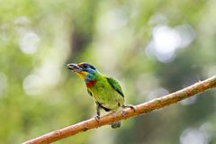 Taiwan Barbet,Megalaima nuchalis Royalty Free Stock Photography