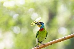 Taiwan Barbet,Megalaima nuchalis Royalty Free Stock Images